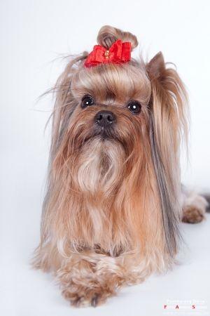 JPG. домашние животные, йоркширский терьер фото, собаки фото.  Скачать аватар Самая обалденная юзерпика подарок.