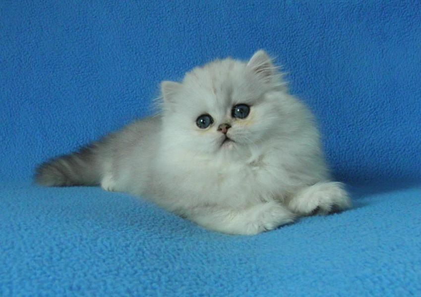 Котята персидской серебристой шиншиллы