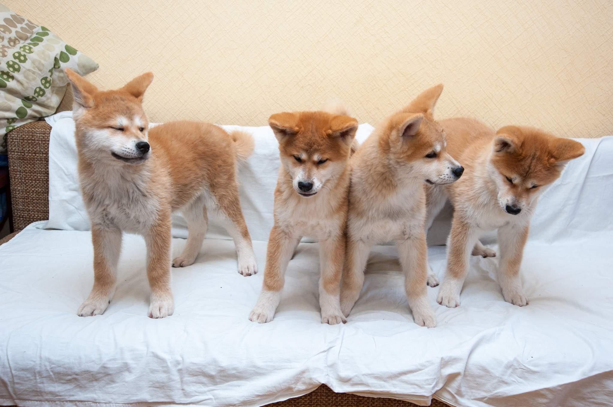 Продаётся щенок акита ину (кобель 4 месяца) в ответственные